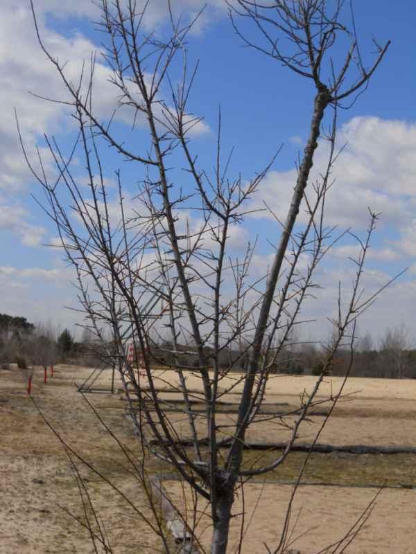 Prunus cerasifera 'Pissardii' invierno v 5