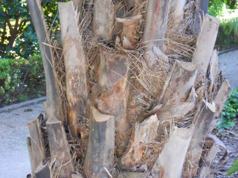 Butia eriospatha tronco 4