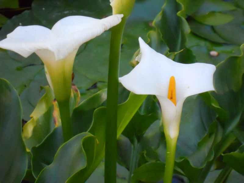 Zantedeschia aethiopica flor 4