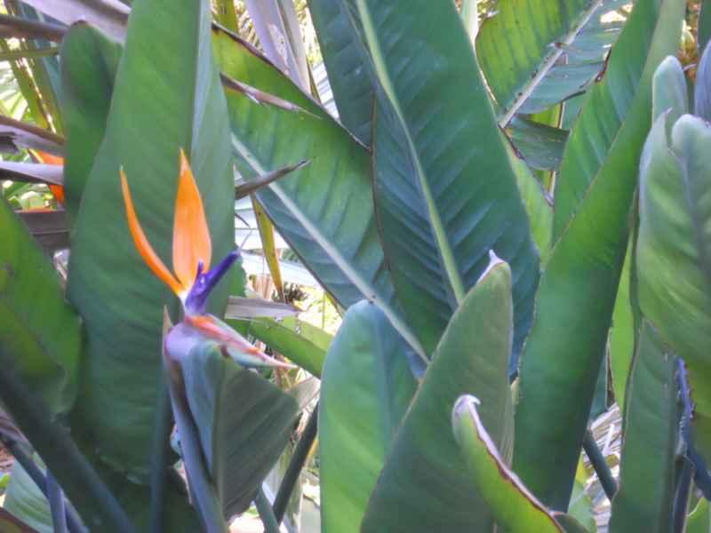 Strelitzia reginae detalle flor 2