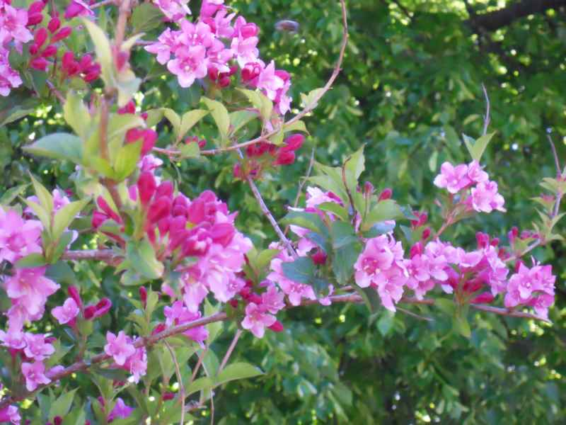 Weigela florida 'Folliis Purpureis' flor 2