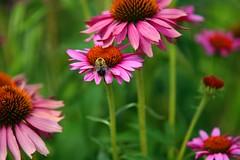 annual plant, flower, plant, macro photography, wildflower, flora, close-up, purple coneflower, petal,