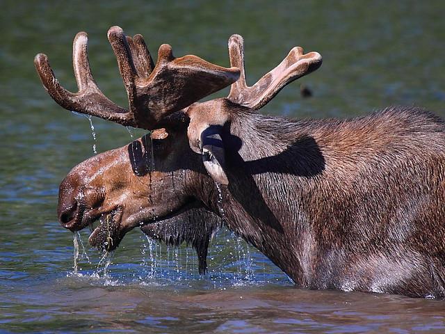 IMG_5128 Bull Moose, Glacier National Park