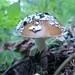Small photo of Panther Amanita