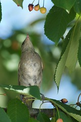 Blackcap - cherry picking