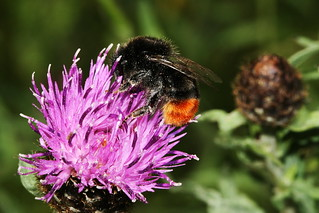Red Tailed Bee 39807