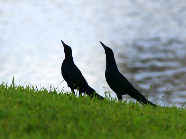 Boat-tailed Grackle Dance3 20100730