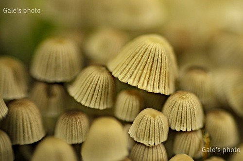 Fairy Inkcaps close up........