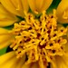 Small photo of Wedelia flower - closeup
