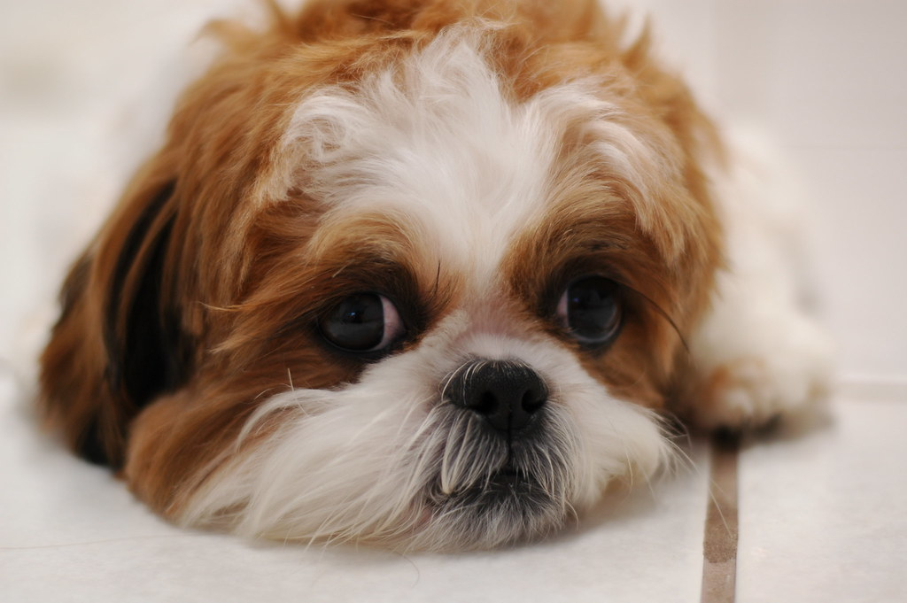 Isabel the Shih Tzu