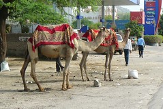 Camels on the HIghway.. 2