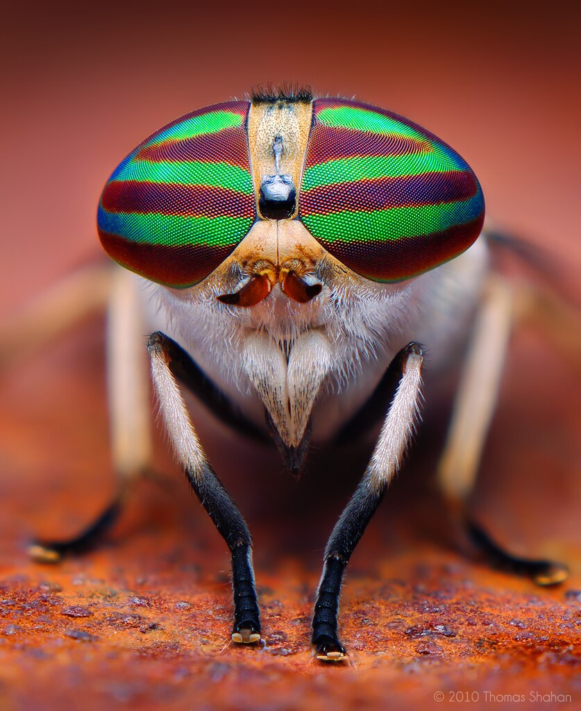 Female Striped Horse Fly (Tabanus lineola)