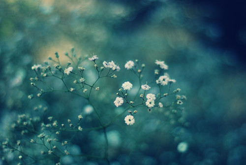 baby's breath bokeh