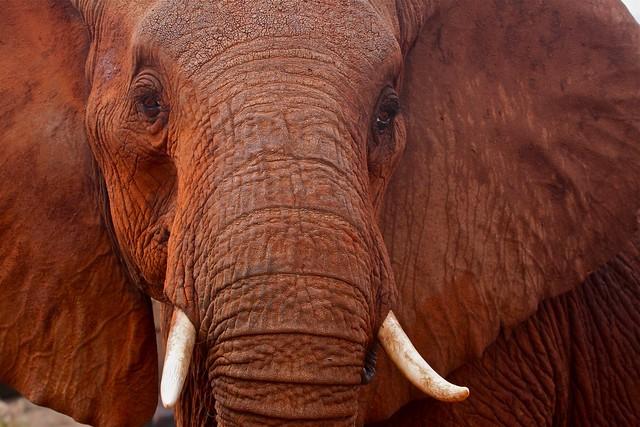 Red elephant of Tsavo