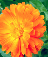 Calendulae in free nature - wildlife