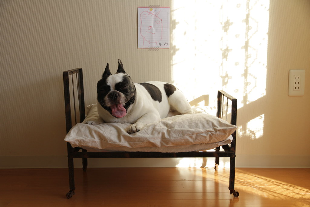 French Bulldog Chikuwa on his new bed