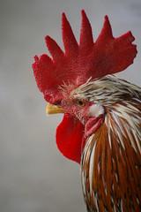 animal, chicken, rooster, red, close-up, comb, fowl, beak, bird, galliformes,