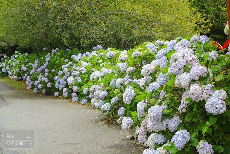 杉林溪繡球花55