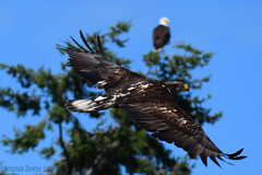 Juvenile Bald Eagle (Parent in background)