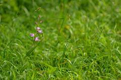 Red Helleborine in grass