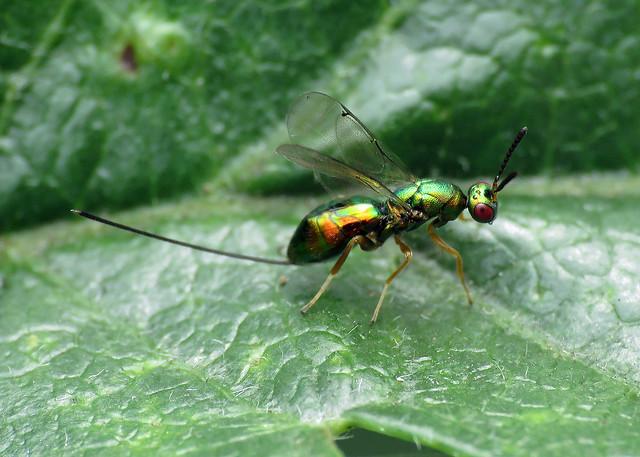 Chalcid Wasp (Chalcidoidea)