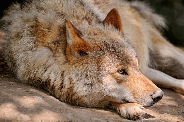 Wolf lying on back - photo#9