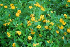 annual plant, shrub, flower, yellow, plant, subshrub, herb, wildflower, flora, produce, common tormentil,