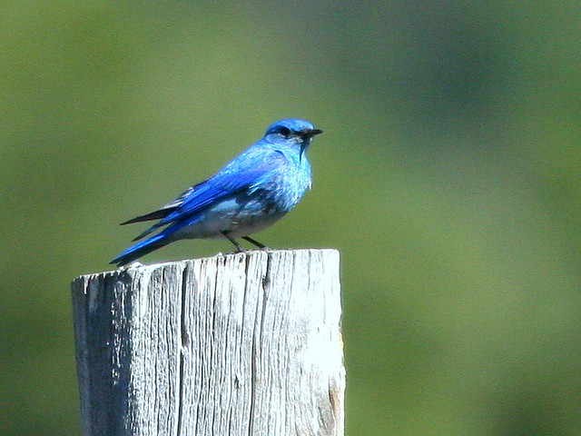 Mountain Bluebird 20100617