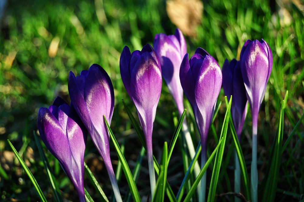 Crocuses...eses...ez