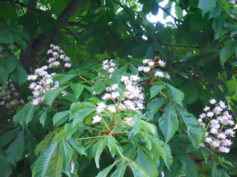 Aesculus hippocastanum  flor 2
