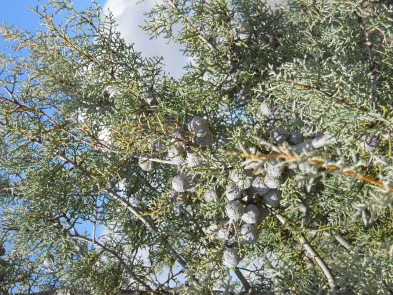 Cupressus glabra.. detalle 2