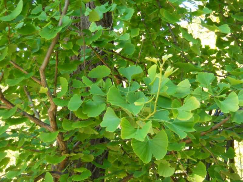 Ginkgo biloba hojas 2