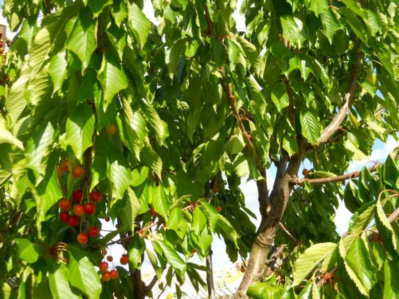 Prunus avium 4