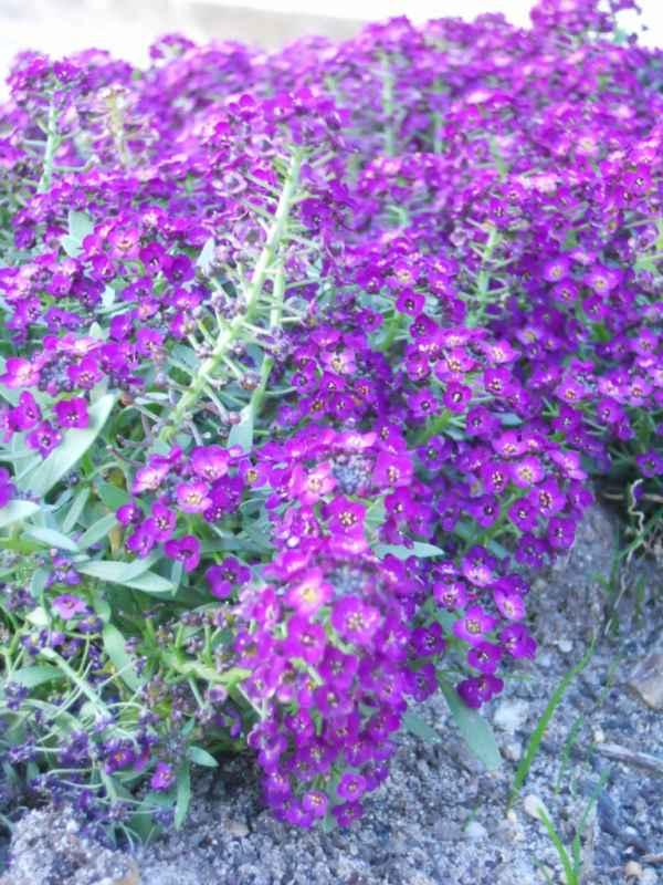 Alysum maritimum violeta v 4