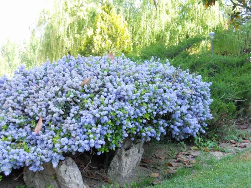 Ceanothus caeruleus 'Burkwoodii'.. arbusto 2