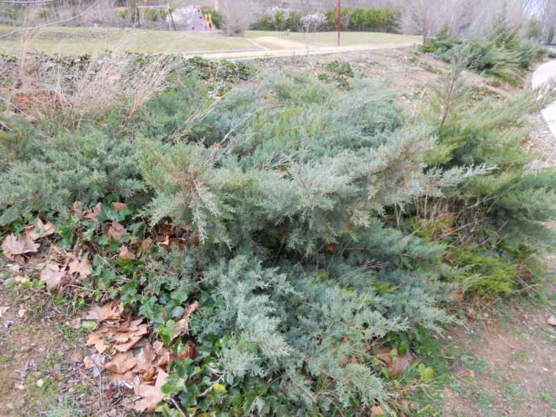 Juniperus sabina 'Hicksii'.. 1