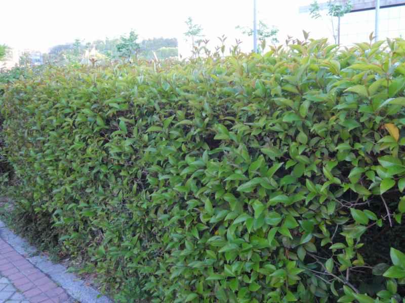 Jardineros en acci n ligustrum japonicum - Setos para vallas ...