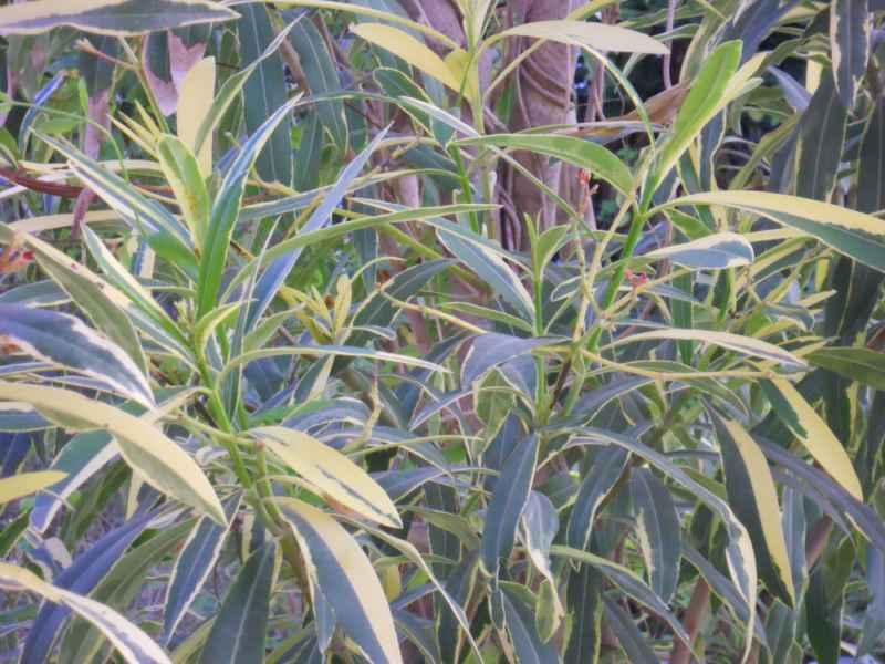 Nerium oleander 'Variegatum' detalle 3