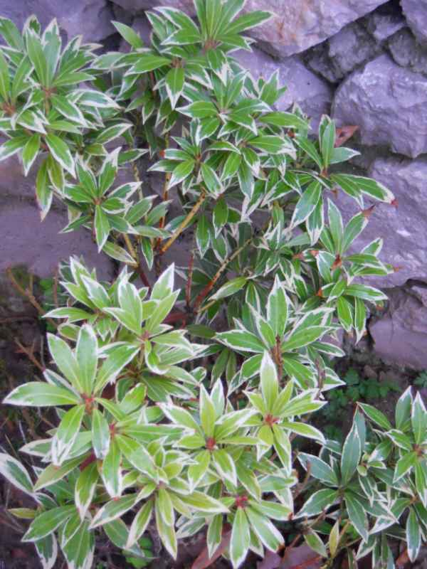 Pieris japonica 'Variegata' v 1