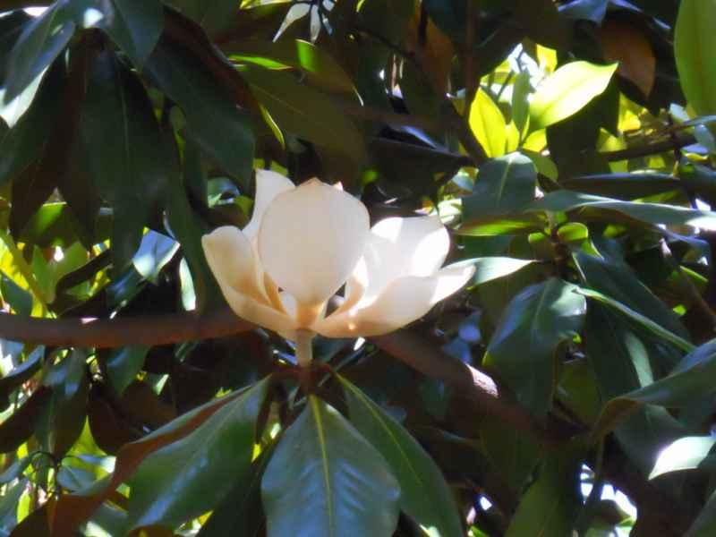 Magnolia grandiflora flor 2