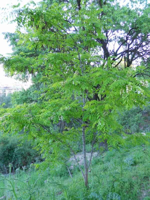 Robinia pseudoacacia arbol v  1