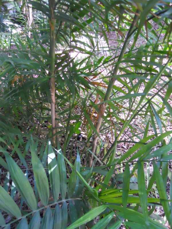 Chamaedorea pochutlensis v 3