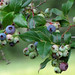 Northern Highbush Blueberry - Photo (c) Annkatrin Rose, some rights reserved (CC BY-NC-SA)