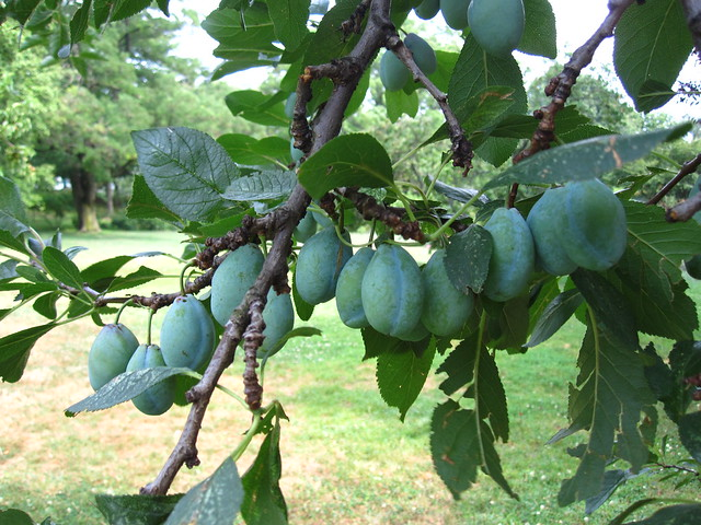 The fruit of European plum (Prunus x domestica 'Big Blue') ripens in the Plant Family Collection. Photo by Rebecca Bullene.