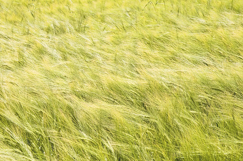 Young wheat in a field