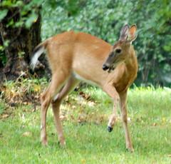 white tail deer 14