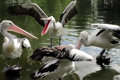 ciconiiformes(0.0), animal(1.0), pelican(1.0), wing(1.0), fauna(1.0), white stork(1.0), beak(1.0), bird(1.0), seabird(1.0), wildlife(1.0),