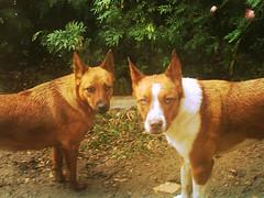 dog breed, animal, dog, pet, street dog, mammal, ibizan hound,