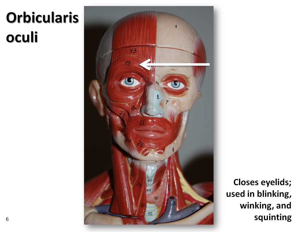 orbicularis oculi - klejonka, Human body