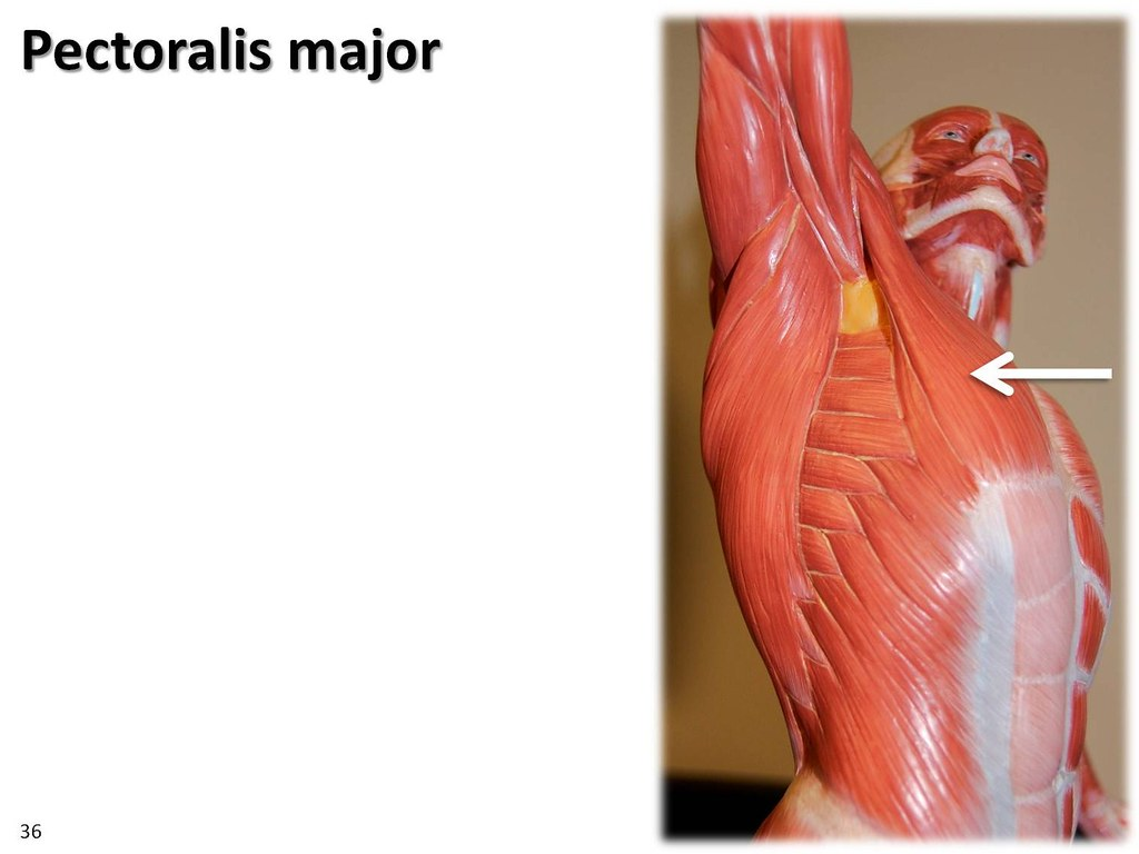 Pectoralis major, dyanmic pose - Muscles of the Upper Extremity ...